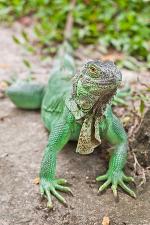 Green Iguana on stone photo