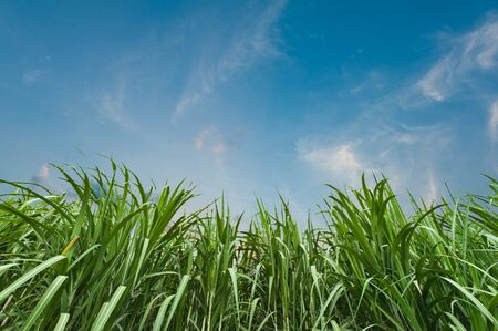 Sugar cane with blue sky photo