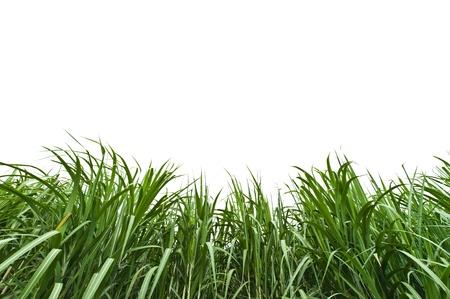 Sugar cane on white background Stock Photo