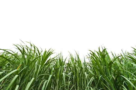 Sugar cane on white background photo