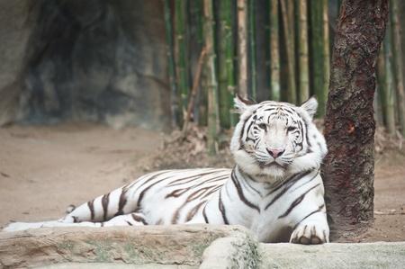 White tiger Stock Photo - 11516648