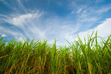 Sugar cane with blue sky Stock Photo