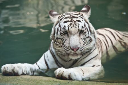 tiger white: White tiger in water Stock Photo