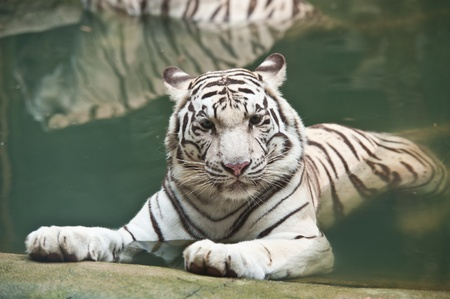 albino: White tiger in water Stock Photo