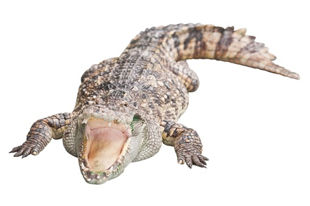 Crocodile isolated on white with clipping path  photo