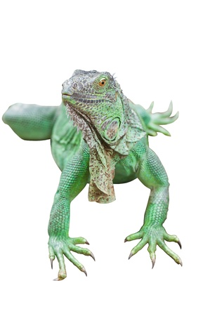 Green Iguana isolated on white background with clipping path  photo