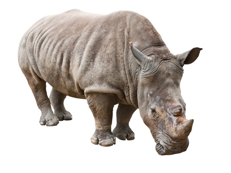Rhinoceros isolated on white with clipping path Stock Photo - 11743913