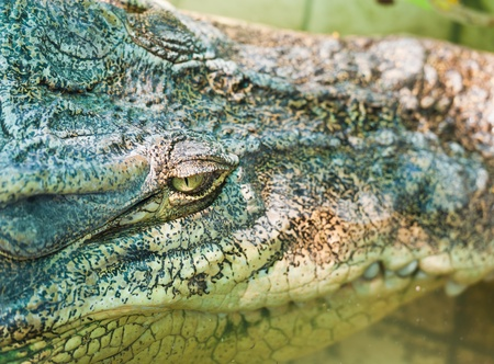 alligator eyes: Eye crocodile