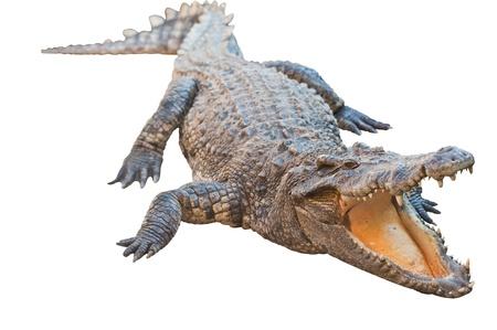 krokodil: Crocodile isoliert auf wei� mit Clipping-Pfad Lizenzfreie Bilder