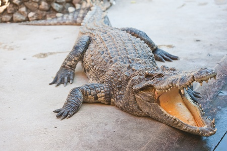 alligator eyes: Dangerous crocodile with open mouth