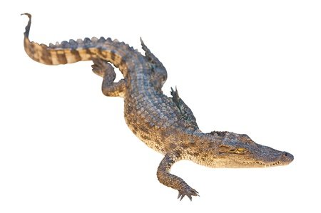 Crocodile isolated on white with clipping path  Stock Photo
