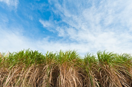 Sugarcane field in blue sky photo
