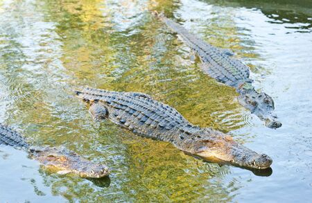 Crocodile with head above water Stock Photo - 12047379