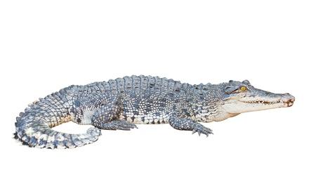 crocodile: Cocodrilo aislado en blanco con saturación camino