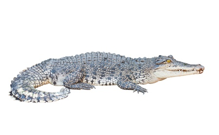 crocodile: Crocodile isolated on white with clipping path