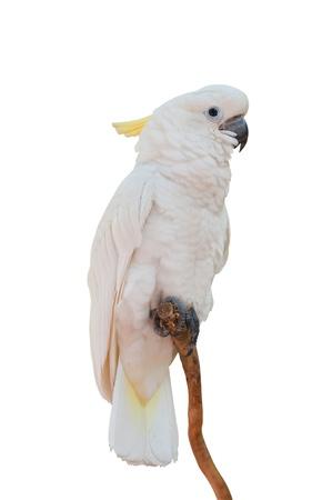 Yellow-crested Cockatoo   Фото со стока