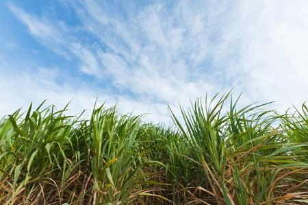 Sugarcane field in blue sky photo