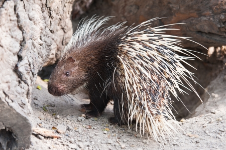 Porcupine Stock Photo - 12605733