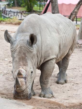 big five: Rinoceronte Archivio Fotografico