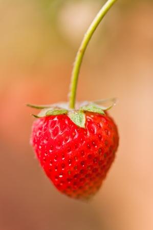 nutritive: Fresh strawberry
