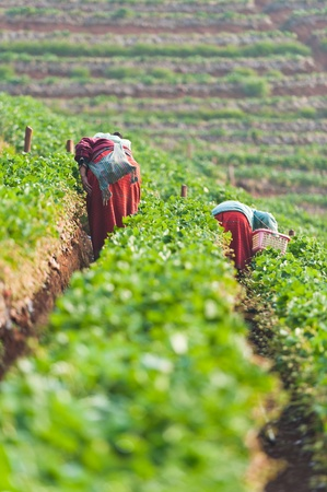 Two worker keeping Fresh strawberries at Chiangmai : Thailand photo