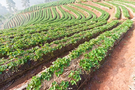 Beautiful landscape and fresh strawberries farm in winter at Chiangmai : Thailand photo