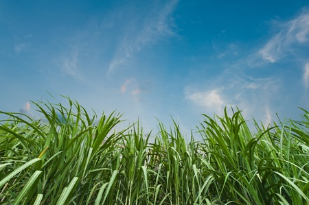 sugarcane: Sugar cane with blue sky Stock Photo