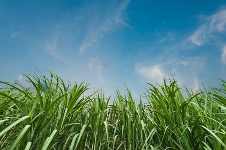 rietkraag: Suikerriet met blauwe hemel Stockfoto