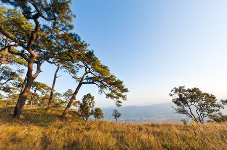 Pine tree at phukradueng national park in thailand photo