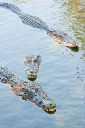 Crocodile with head above water