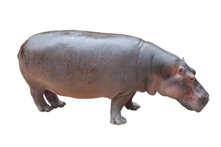 Hippopotamus  photo
