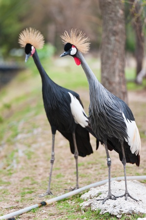 Two Grey Crowned Crane (Balearica regulorum) head in profile photo