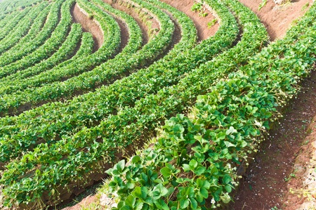 Beautiful landscape and fresh strawberries farm at Chiangmai : Thailand photo