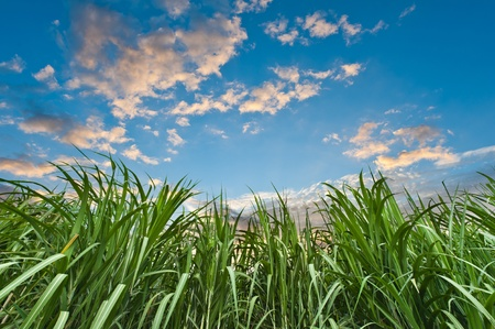 Sugar cane with nice sky Banque d'images