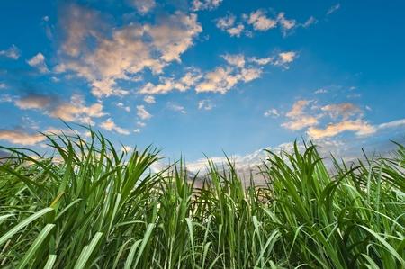 Sugar cane with nice sky Stock Photo