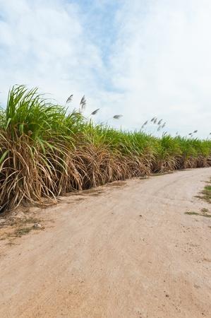 Sugar cane field in blue sky photo