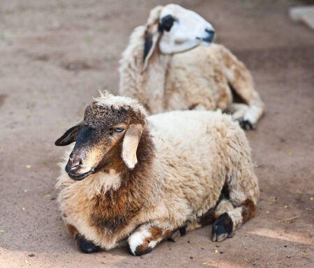 Brown Sheep photo
