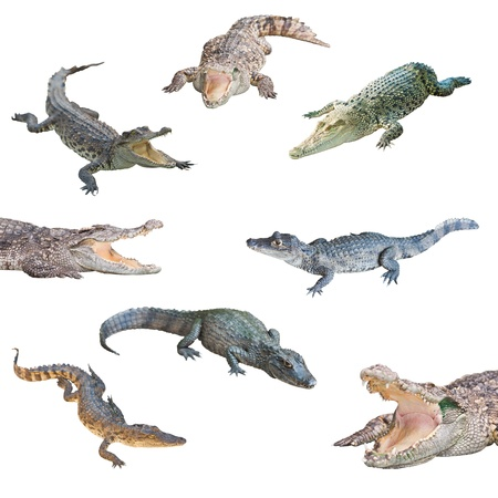 collection of crocodile isolated on white background photo