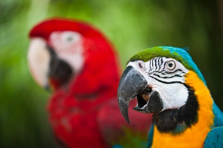 Couple of macaw parrots Stock Photo - 13843493