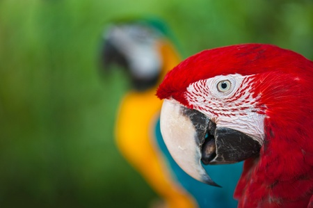 Couple of macaw parrots photo
