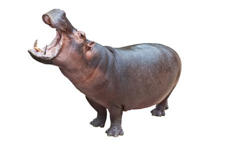 hippopotamus: Hipopótamo con la boca abierta