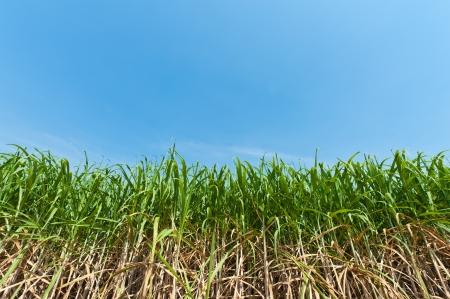 Sugar cane field in blue sky