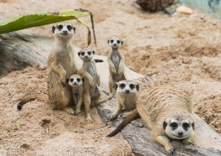 mongoose: Meerkats family Editorial