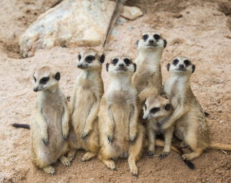 animales del zoo: Meerkats familia