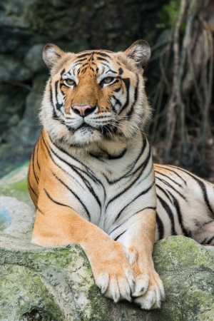 Bengal tiger Stock Photo - 14686129