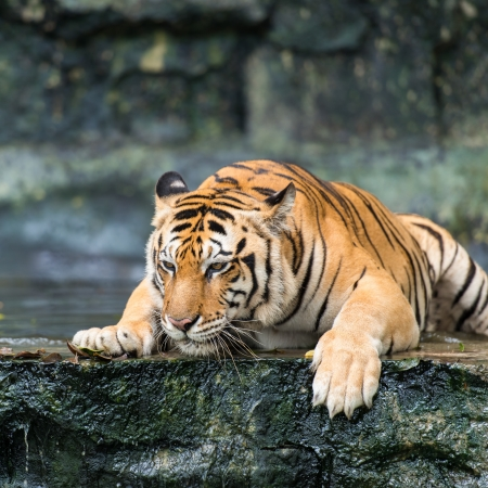 wild asia: Bengal tiger Editorial