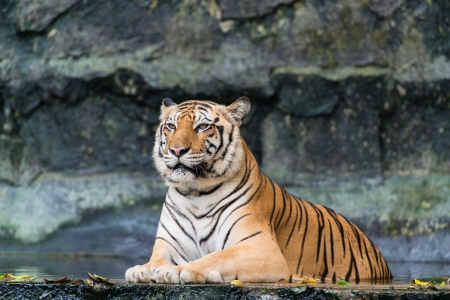 yellow tigers: Bengal tiger Editorial