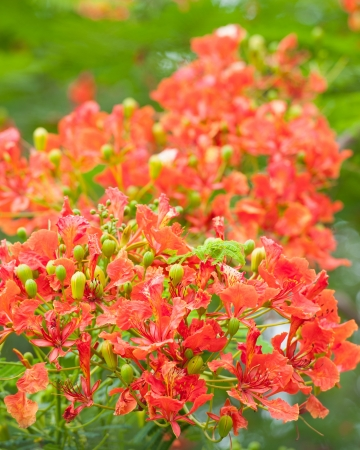 Beautiful orange delonix regia flower photo