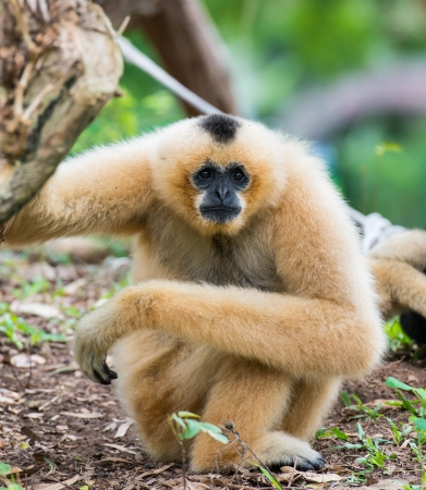 White Cheeked Gibbon or Lar Gibbon photo