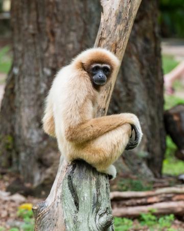 orangutang: White Cheeked Gibbon or Lar Gibbon